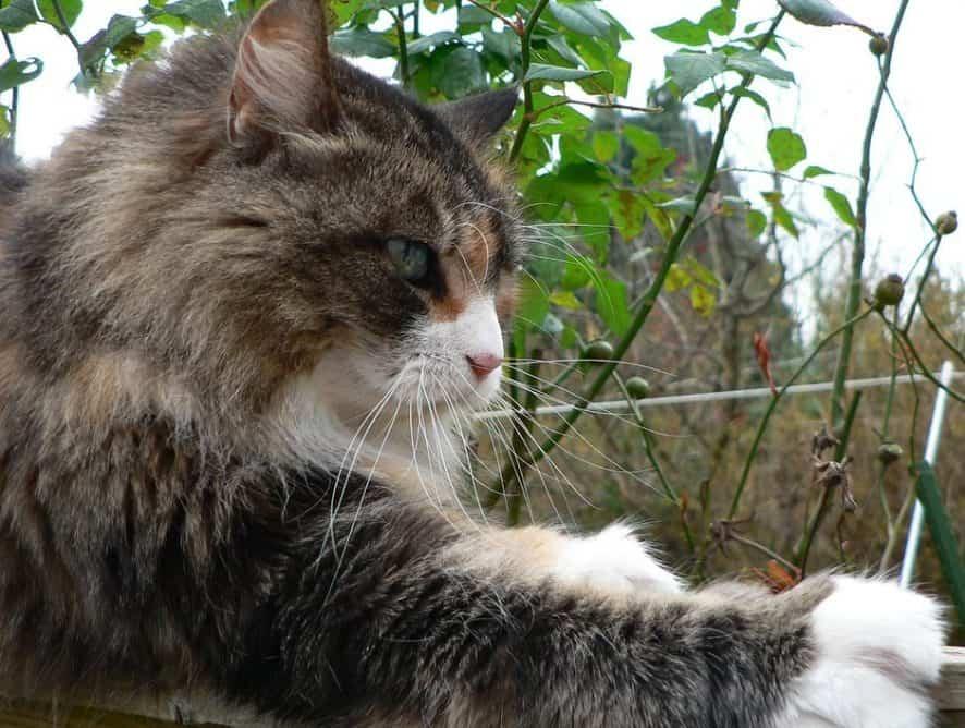 Dlaczego koty drapią?