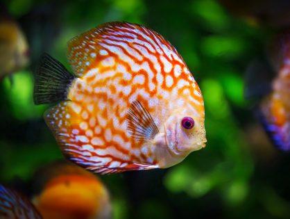 Marzysz o własnym akwarium? Zobacz, jakich ryb nie może w nim zabraknąć!